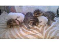 Beautiful Bengal Kittens