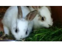 Gorgeous Bunnies FREE TO A GOOD HOME