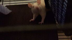 Rats for sale and full set up