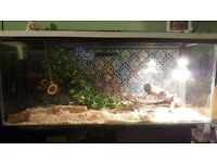 Corn snake and full set up 3ft tank