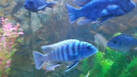12 adult cichlids males and females (Malawi, rusty, african)