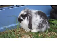 Super male fluffy black and white lop rabbit 9 weeks old.