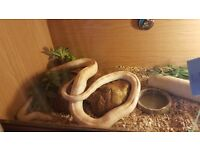 Corn snake with viv all inclucive