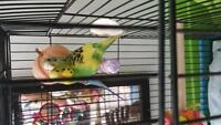 Two Yonge Budgies with Cage and Accessories