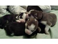 Beautiful husky babies for sale