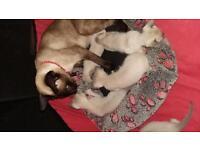 Pedigree Siamese Kittens