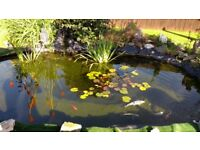 Koi and ghost carp with pumps filters and pond vacuum etc
