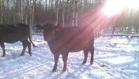 Black Angus purebred hiefers