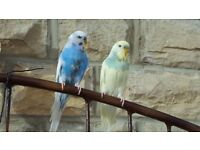 2 x Beautiful Male Budgies For Sale With Cage
