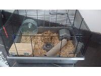 White Russian dwarf hamster