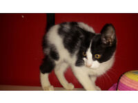 black and white female kitten/ 12 weeks old