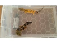 FOR SALE 2 LEOPARD GECKO'S 1 FEMALE 1 MALE