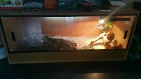 bearded dragon and his entire setup