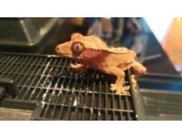 Baby Crested Gecko (will deliver locally)