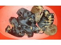 DOBERMAN PUPS