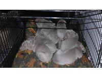 KC registered Silver Weimaraner puppies, KC assured breeder