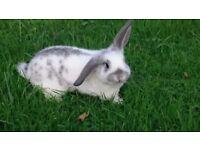 Mini lop ear rabbit doe