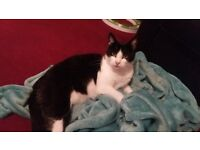 4 year old tripod cat- £20 needs rehoming due to issues with children