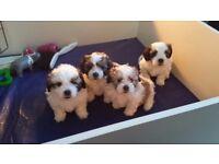 Beautiful Poochon x Shi tzu Puppies