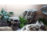Bearded dragons with full set up