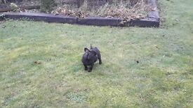 FRENCH BULLDOG MALE / BRINDLE