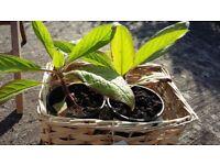 Plants for Sale - Echium Pininana (Viper's Bugloss) £3