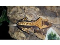 Lovely dark based harlequin with high % pinstripe crested gecko. Awesome structure and lineage