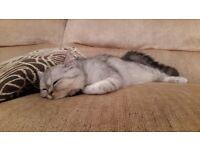 Cat for sale Persian chinchilla exotic, female