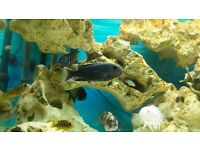 Malawi Cichlid. Pseudotropheus Acei Ngara. Adult Male. Black with white fins.