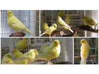 Top Canary Birds And Brand New Cages