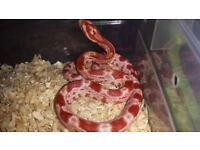 Amel Corn Snake