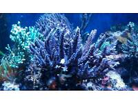 Corals for sale SPS