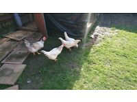 4 chickens for sale two blue layers and two pale brown