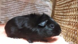 Male guinea pigs ready now