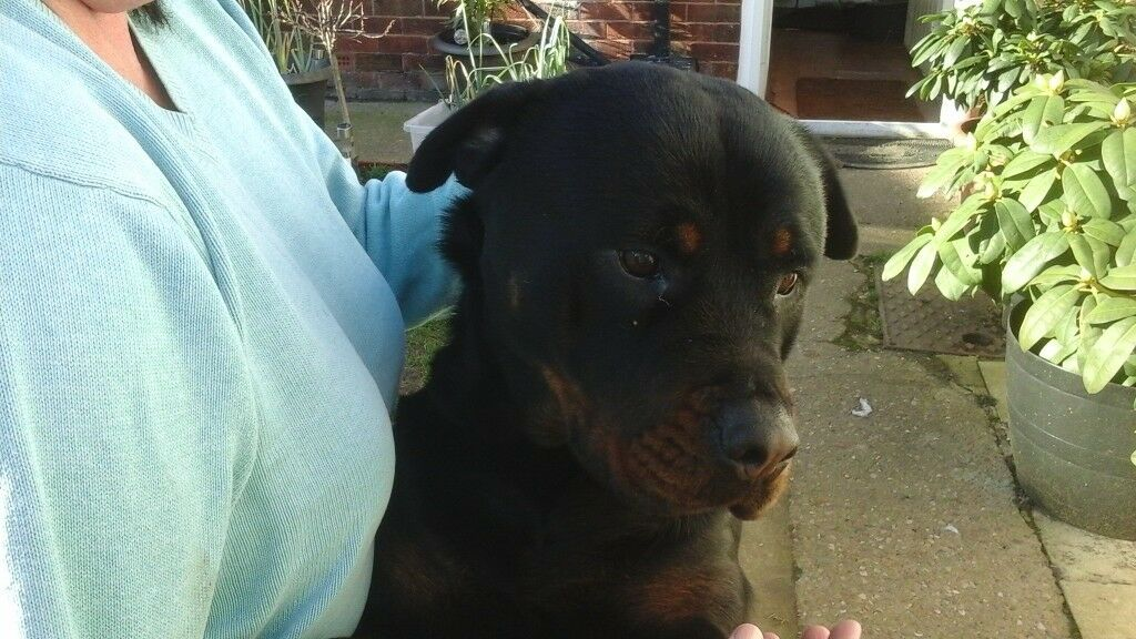 Rottweiler Puppies For Sale Kc Registered In Thorne South