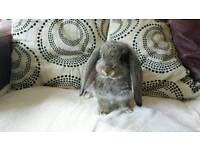 Beautiful french lop rabbits - giant breed