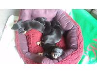 MINIATURE DACHSHUND SMOOTH PUPPIES KC REGISTERED PRA CLEAR