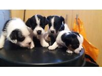 Jack Russell pups for sale ready to go now!