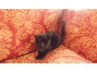 Kitten Black Boy 8 Weeks Old House Reared Beautiful
