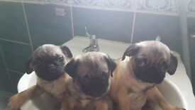 Pug pupps available