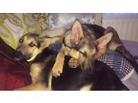 German Shepperd pup Male and Female