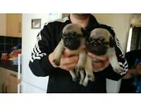 Georgous pug puppys