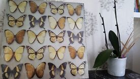 Butterfly's Picture