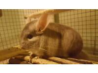 Beige Chinchilla - Free to an experienced home