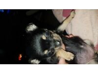 Pomeranian cross pug girl puppy