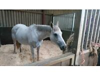 15.2 Thoroughbred Mare For sale