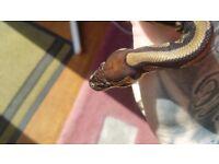 Young Male Royal Ball Python Snake