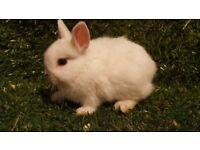 Beautiful Baby Netherland Dwarf Bunnies