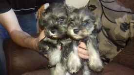 TWO SALT AND PEPPER SCHNAUZERS BOYS FOR SALE