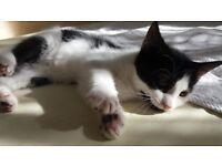 A very intellegent kitten for sale. She is cute, smart and beautiful!